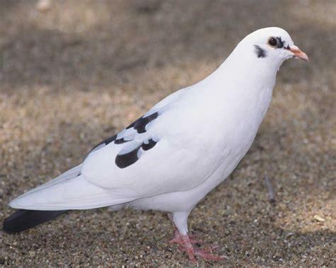 rock pigeon audubon field guide