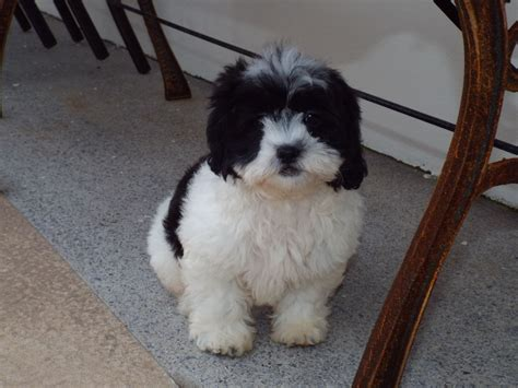 poodle x shih tzu for sale beautiful mini poodle x shih tzu pups for sale llanelli carmarthenshire pets4homes