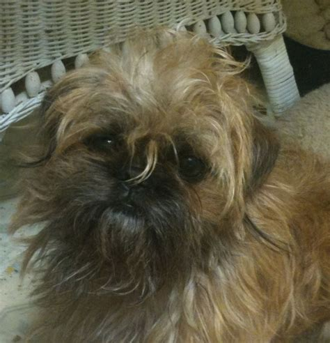 shih tzu brussels griffon mix that grover rover shiffon brussels griffon