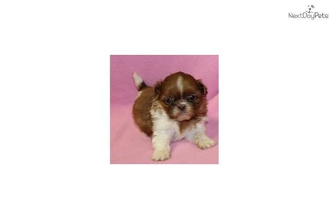 shih tzu puppies springfield mo percious baby shih tzu puppy for sale near springfield missouri 28f9014d 04a1
