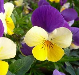 pansy flower pictures meanings purple pansy flowers