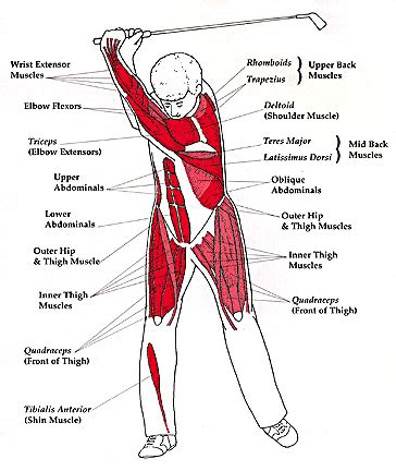 what muscles do you use to swing a bat why conditioning is important for golf pulse fitness