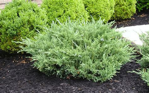 juniper shrub for sale north fort myers