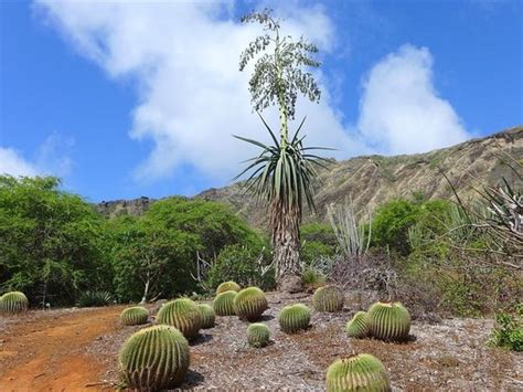 Koko Botanical Garden サボテン Picture Of Koko Crater Botanical Garden Honolulu Tripadvisor