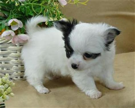 free teacup chihuahua puppies in nc teacup haired chihuahua puppies for sale in nc breeds picture