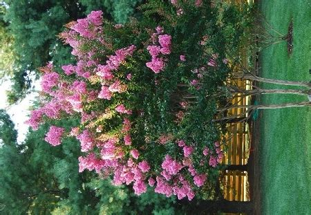 sioux crapemyrtle tree