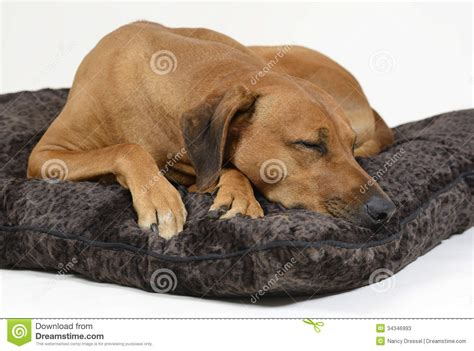 dog sleeping on bed cute dog sleeping on his bed stock photos image 34346993