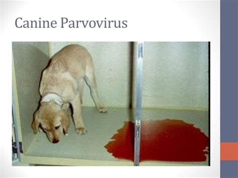 how to treat parvo in dogs ans ii diseases and parasites pictures courtesy of images ppt