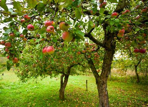 apple trees everything you ever wanted to know fast