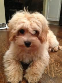 maltipoo rescue florida images  pinterest
