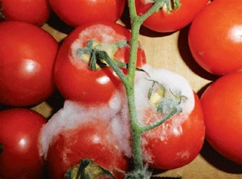 Or Rotten Tomatoes Rotten Produce Prosecution For Bradford Shopkeeper