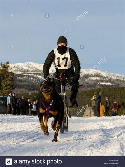 rottweiler pulling competition bikejoring sport running rottweiler pulling a mountain stock photo royalty