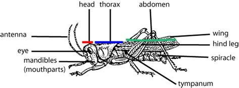 cricket anatomy diagram grasshoppers gross anatomy anatomy note