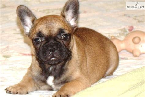 free puppies in hattiesburg ms bulldog puppy for sale near hattiesburg mississippi 3a379e0c 0061