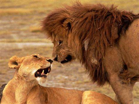 imagenes de leones macho y hembra los leones y sus caracteristicas taringa