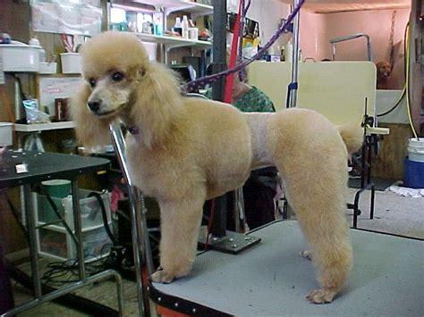diffrent cuts for toy poodles 40 best poodle cuts images on pinterest poodles poodle