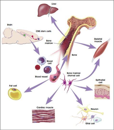 stem cells 4 the adult stem cell stemcells nih gov