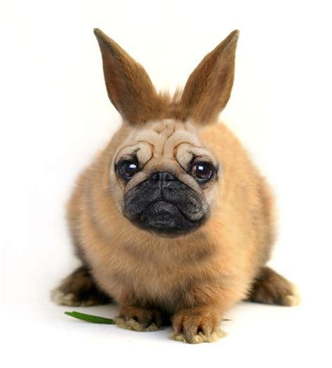 pug bunny pug bunny hybrid by geeraard on deviantart