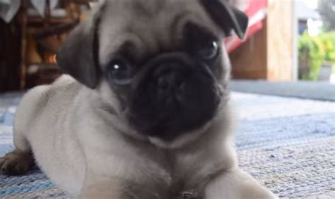 pug sound adorable pug puppy makes noises and now i can t stop laughing