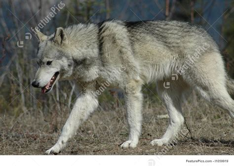 wolf walking toward drawing