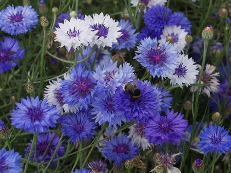 best blue annual flowers for your garden hgtv