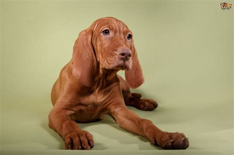 breed behavior vizsla temperament personality breeds picture