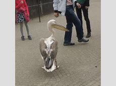 Pelican Attacks (gif)   LuvBat Fluffiest Kittens In The World