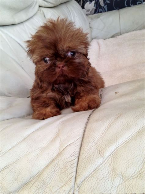 shih tzu puppies for sale in ky imperial shih tzu puppies puppies puppy