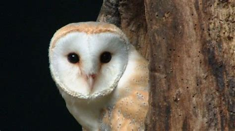 Are Barn Owls Endangered and cornwall barn owls threatened by weather news