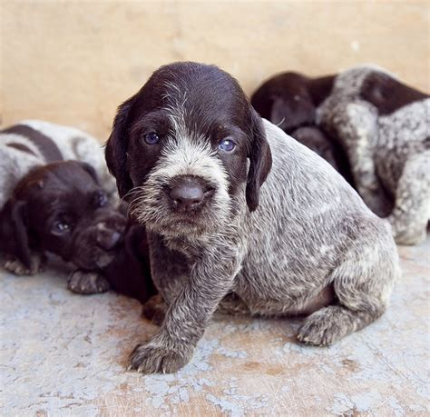 drahthaar puppies 17 best images about german wirehaired pointers on plates and