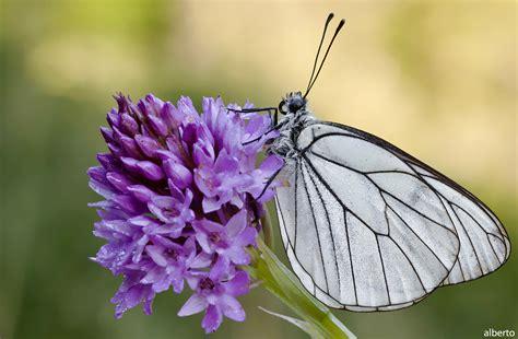 farfalla fiore ore 08 farfalla su fiore foto immagini macro e up