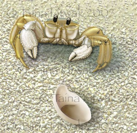 slipper crab ghost crab and slipper shell illustration science