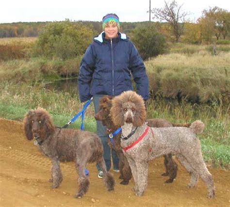 royal poodle lifespan what size is a royal standard poodle photo