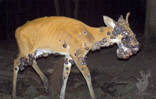 what colors do deer see how to recognize 5 common lethal deer diseases outdoorhub