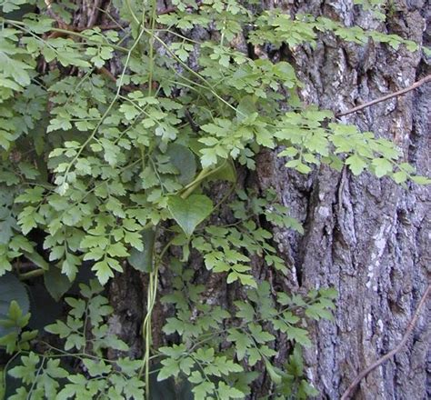 japanese climbing plants gardener newsletter