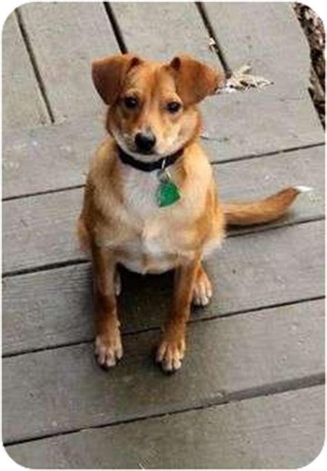 golden retriever rescue albany ny tiny tim free transport adopted puppy home1111tt albany ny golden retriever
