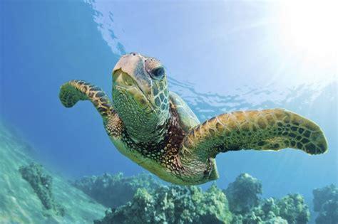 Turtle Sea ephs honors biology gabel sea turtles and their