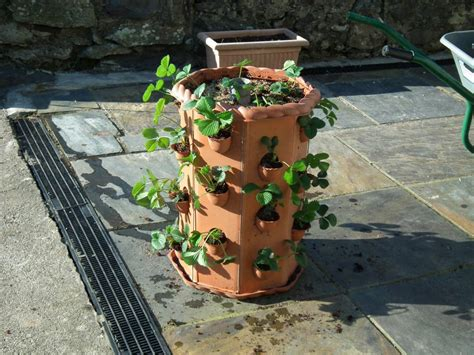 strawberry planter strawberry planter allotment garden diary