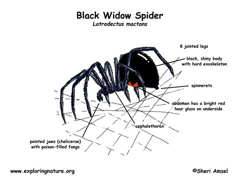 diagram of a black widow spider black widow spider cycle diagram pictures to pin on