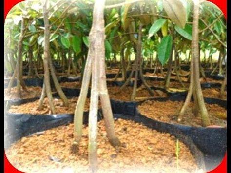 Bibit Alpukat Kaki Ganda teknik sambung pucuk mangga supaya berbuah lebat doovi