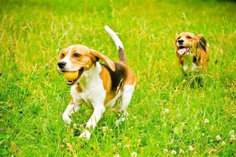 can dogs diabetes at what age can a become diabetic