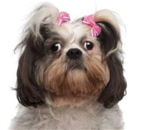 shih tzu care tips shih tzu care tips all ages