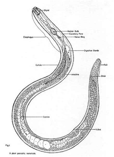 diagram of nematode nematodes in soil