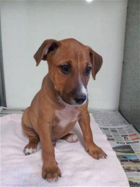 rottweiler cross ridgeback puppies for sale ridgeback cross dogs breeds picture