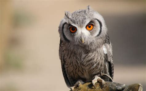 owl wallpapers backgrounds images freecreatives
