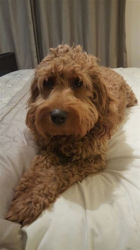 goldendoodle mini a vendre 1000 ideas about goldendoodle grooming on