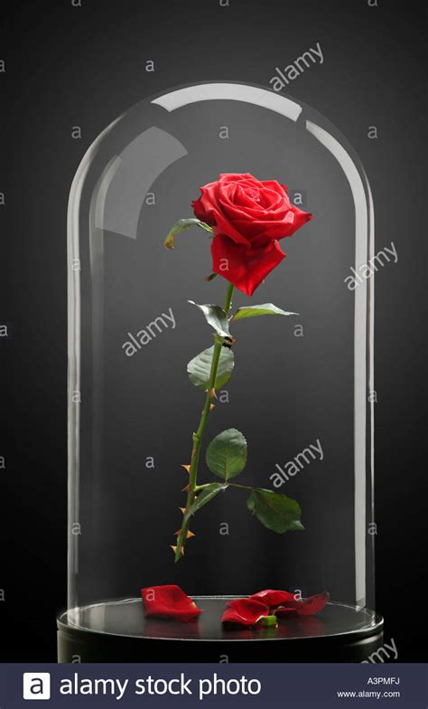 rose in glass red rose under a glass cloche stock photo royalty free