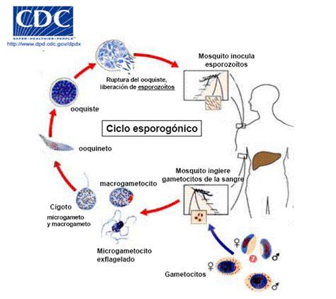 cadena epidemiologica treponema pallidum enfermedades infecciosas y microbiologia medica etiologia
