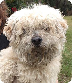 adoption orlando orlando fl poodle miniature mix meet cord a for adoption