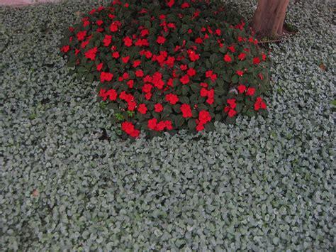 Cascading Indoor Plants dichondra silver falls the smarter gardener